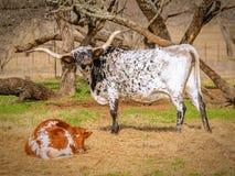 Texas longhorn, moeder en kalf stock foto's