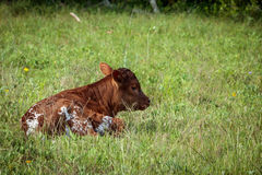 Texas Longhorn Newborn Calf Fotos de archivo