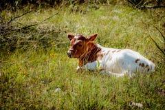 Texas Longhorn Newborn Calf Imagenes de archivo