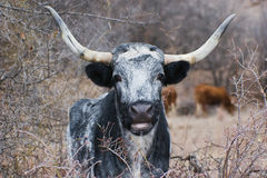 Texas Longhorn Portrait Royalty Free Stock Photo