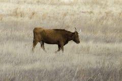 Texas Longhorn Roaming an der goldenen Stunde lizenzfreies stockbild