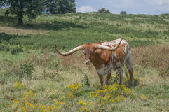 Texas Longhorn stands wildflowers Stock Photos