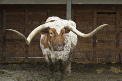 Texas Longhorn Royalty Free Stock Photography