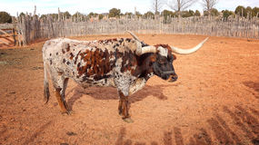 Texas Longhorn Steer am Rohr-Frühlings-Nationaldenkmal Stockbild