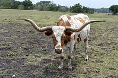 Texas Longhorn Steer Upclose. Texas Longhorn steer doesn't take kindly to having his picture taken Stock Photography