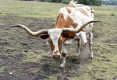 Texas Longhorn Steer Upclose & Threatening. Texas Longhorn steer doesn't take kindly to having his picture taken Stock Photos