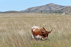 Texas Longhorn Steer at wichita mountains wildlife refuge in Oklahoma stock photography