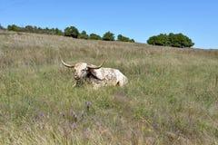Texas Longhorn Steer at wichita mountains wildlife refuge in Oklahoma royalty free stock photos