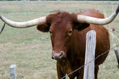 Texas-Longhorn, Treibholz Texas stockfotografie