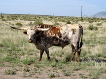 Texas Longhorn in West Texas Royalty Free Stock Photo