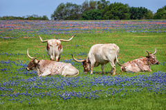 Texas longhornnötkreatur i bluebonnets royaltyfria bilder