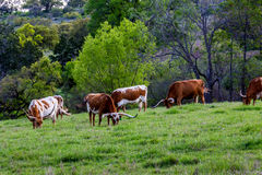 Texas Longhorns dans un pâturage vert image stock
