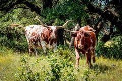 Texas Longhorns en el país de la colina Imagenes de archivo