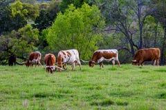 Texas Longhorns Grazing auf dem Gebiet lizenzfreies stockfoto