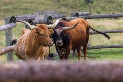 Texas Longhorns In A Farm Of Canada Royalty Free Stock Photo