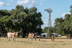 Texas Longhorns och väderkvarnen Arkivbild