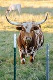 Texas longhorntjur, drivved Texas Arkivfoton