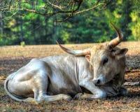Free Texas Lonhorn Cattle - Gentle Giant Stock Photos - 21831843