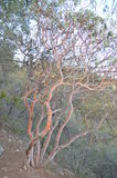 Texas Madrone tree in Big Bend National Park, Texas Royalty Free Stock Photos