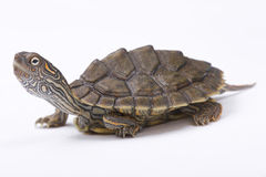 Texas map turtle, Graptemys versa. Is a freshwater turtle species from Texas, USA Stock Images