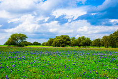 Texas Meadow Bluebonnet Field im Frühjahr lizenzfreies stockbild