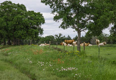 Texas Meadow, wildflowers, and cows. Lush, green meadow along Texas highway with wildflowers, cows, bulls and calves, and barbed wire fence Royalty Free Stock Photography