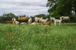 Texas Meadow, wildflowers, and cows. Lush, green meadow along Texas highway with wildflowers, cows, bulls and calves, and barbed wire fence Royalty Free Stock Image