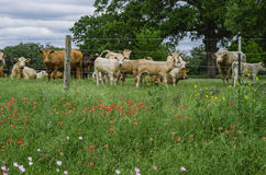 Texas Meadow, wildflowers, and cows. Lush, green meadow along Texas highway with wildflowers, cows, bulls and calves, and barbed wire fence Stock Photos