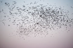 Texas Mexican Free-Tailed Bats del sud Fotografia Stock Libera da Diritti