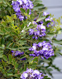 Texas Mountain Laurel flowers. Texas Mountain Laurel blooms and leaves Royalty Free Stock Image