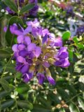Texas Mountain Laurel Royalty Free Stock Photos