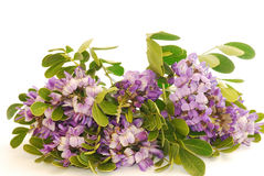 Texas Mountain Laurel (Sophora secundiflora) Royalty Free Stock Photography