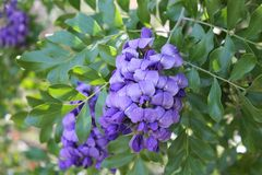 Texas Mountain Laurel Tree with Purple Flowers Royalty Free Stock Photo