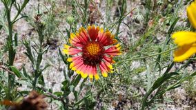 Texas Native Flowers gult och rött royaltyfria bilder