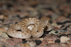 Texas Night Snake Stock Images