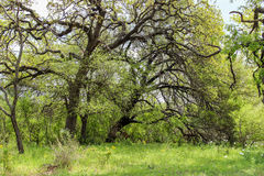 Texas Oak Trees em Willow City Loop Foto de Stock Royalty Free