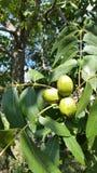 Texas Pecans Still On The träd fotografering för bildbyråer