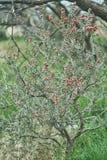 Texas Pencil Cholla Cactus occidental, leptocaulis de Cylindropuntia avec le fruit rouge lumineux de déchirure image libre de droits
