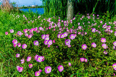 Texas Pink Evening o Wildflowers llamativos de la onagra (Oenot Fotos de archivo libres de regalías