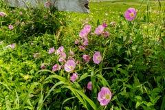 Texas Pink Evening Primrose Wildflowers en la cerca de madera Foto de archivo libre de regalías