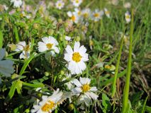 Texas Plains Blackfoot daisy wildflower stock image