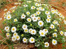 Texas Plains Blackfoot-madeliefje wildflower stock foto