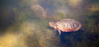 Texas Pond Turtle Wildlife Pokes Head out for Air Royalty Free Stock Images