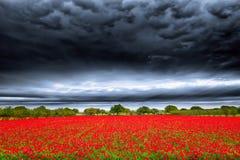 Texas Poppy Fields images stock