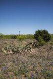 Texas Prickly Pear Cactus and Bluebonnet Landscape Royalty Free Stock Image