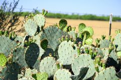 Texas Prickly pear cactus with green fruit. With grass background stock photos