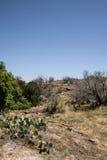 Texas Prickly Pear Cactus Landscape imagen de archivo libre de regalías
