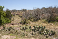 Texas Prickly Pear Cactus Landscape Stock Photo
