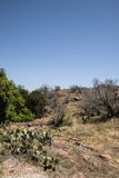 Texas Prickly Pear Cactus Landscape Royalty Free Stock Image