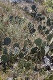 Texas Prickly Pear Cactus - Opuntia Littoralis 2 imágenes de archivo libres de regalías